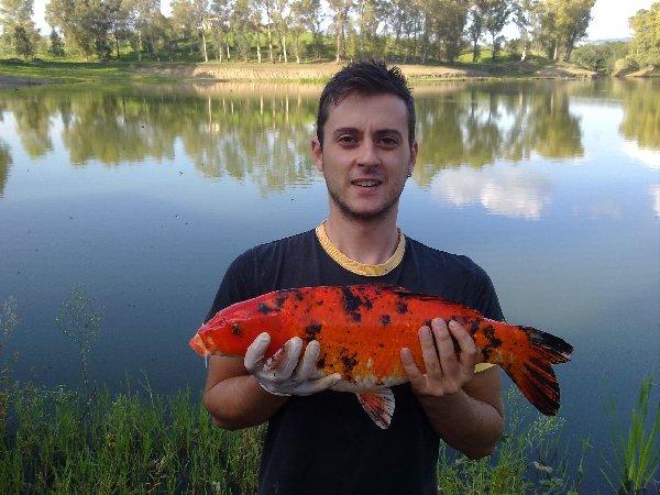 Carpa koi di 3kg al lago manzolini for Carpa koi prezzo