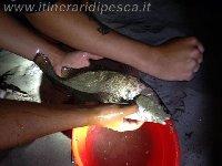 Corvina di oltre il kg e mezzo sempre alla  Spiaggia dei Maronti