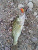 Lago di Bolsena - Capodimonte -  Bass di quasi un kg